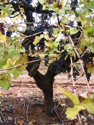 grapevine_picture