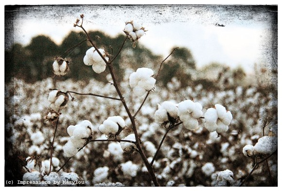 Cotton 5